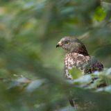 Wespenbussard / European honey buzzard