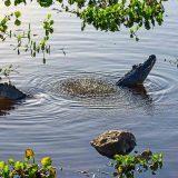 Brillenkaiman im Pantanal / Spectacled Caiman in the Pantanal