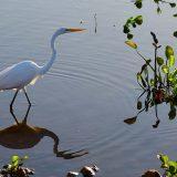 Silberreiher im Pantanal / Great Egret in the Pantanal