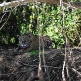 Immer wachsam – der Jaguar im Pantanal / Always vigilant - the jaguar in the Pantanal